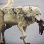 Yellowstone Wolves: How They Get A Head