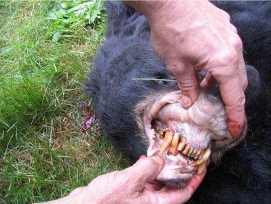 23 year old bear showing bad teeth