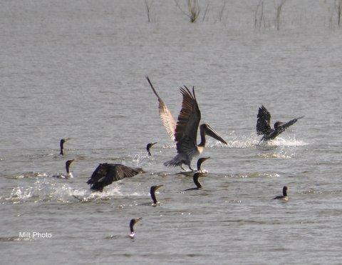 pelicanwaterskiing