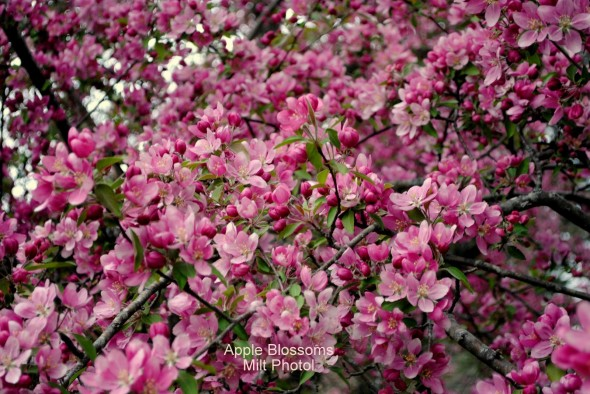 appleblossoms2
