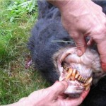 Baiting Wild Game With Sugary Substances Will Cause Bad Teeth…Before You Kill Them
