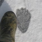 In Maine, Black Bears Still About in Mid January