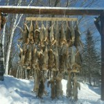 Coyotes: Just Hanging Around Some Place in Maine