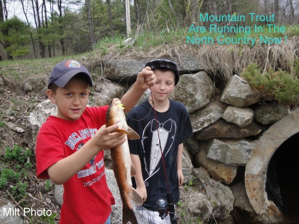 mountain trout