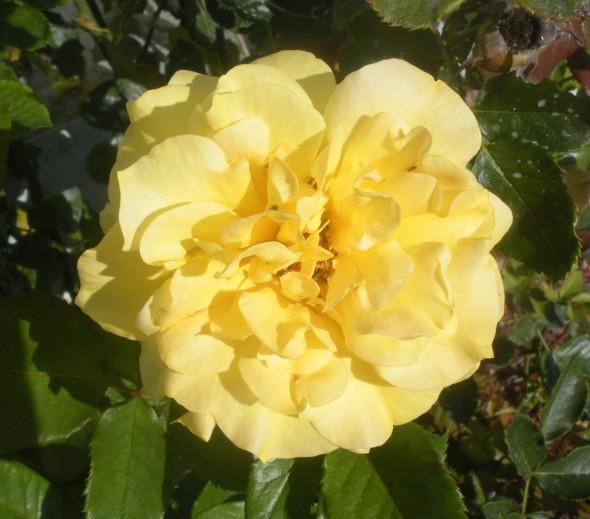 yellowrose3