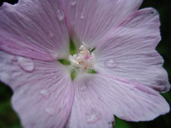 waterdropsonflower