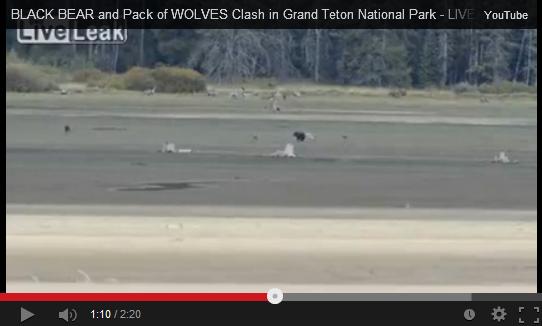 Wolves Attack Black Bear