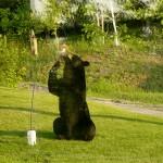 bearinfeeder