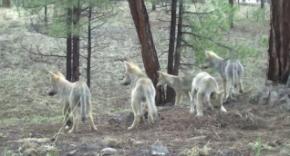 wolfpups - Copy