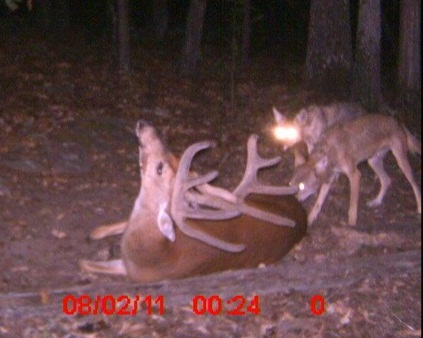 Can Dogs Eat Old Deer Antlers