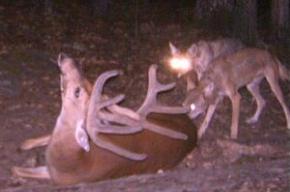 coyotestakedownbuck