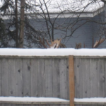The Antlers Behind the Fence