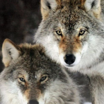 Wolves Cannot be a Keystone Predator And Not Have an Effect on Ungulates