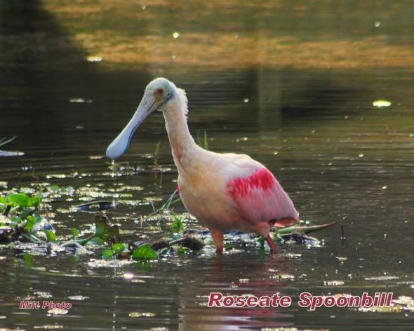 RoseateSpoonbill1