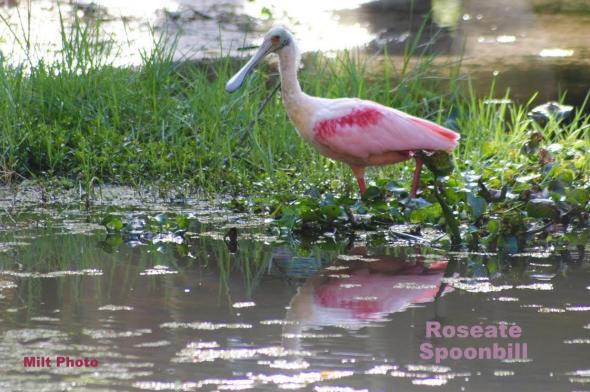 RoseateSpoonbill2