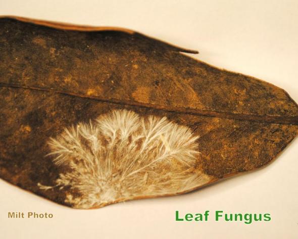 LeafFungus
