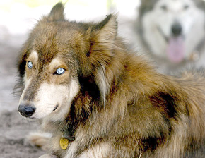 hybridwolf