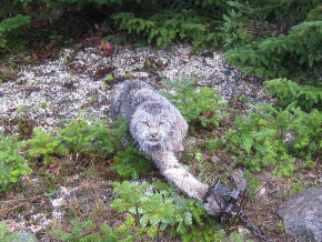 Lynxintrap