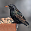 EuropeanStarling