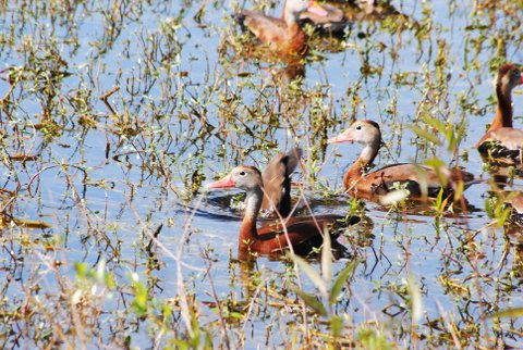 WhistlerDucks