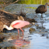 Milt's Corner – Roseate Spoonbill and Limkin