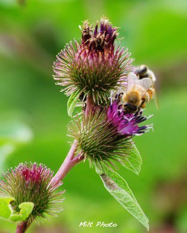 BeeThistle
