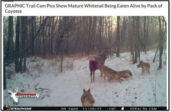 They Say It Don't Happen: Coyotes Eating Buck Alive